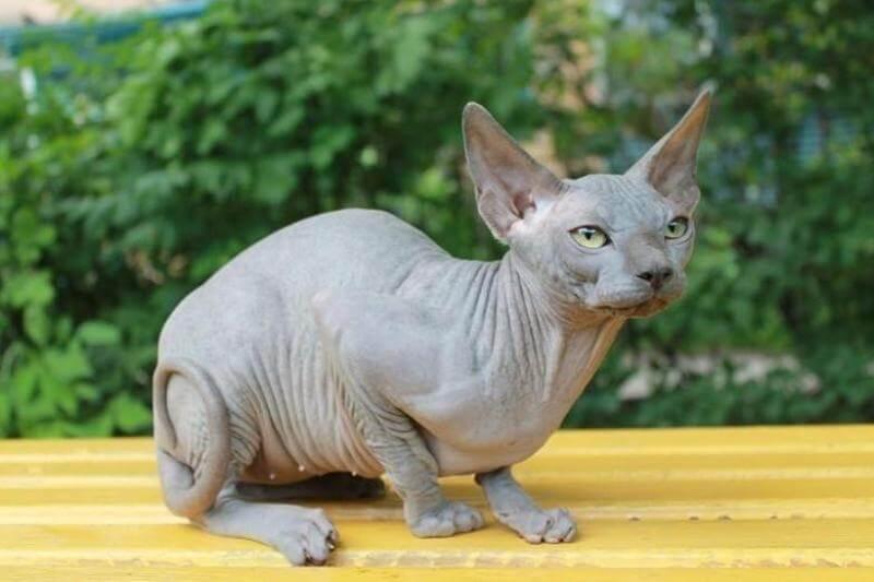 На фото кот породы Канадский сфинкс