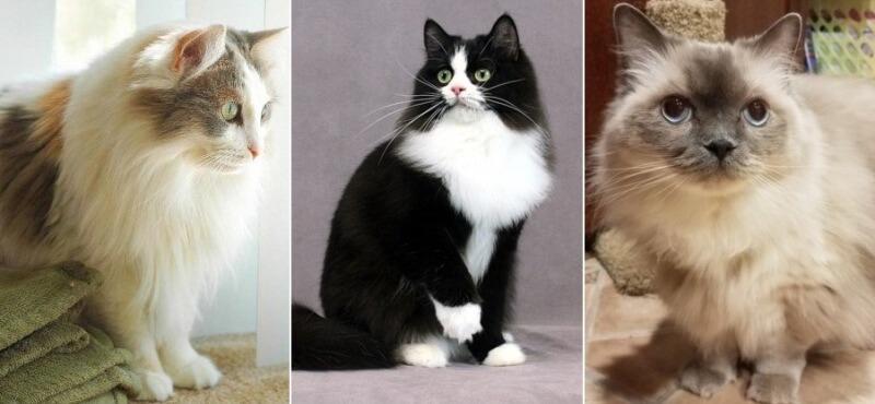На фото кошки породы Рагамаффин основных окрасов