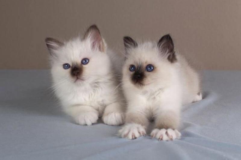 На фото котята Священной бирманской кошки