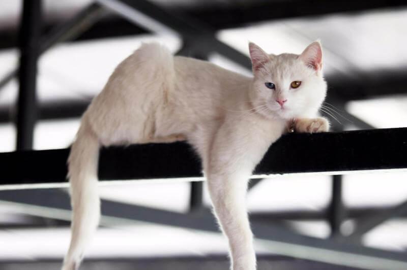 На фото кот анатолийской породы