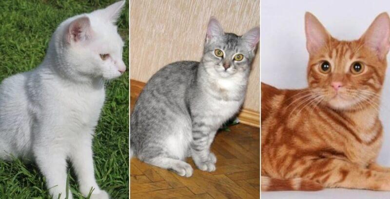 Популярные окрасы анатолийской породы кошек