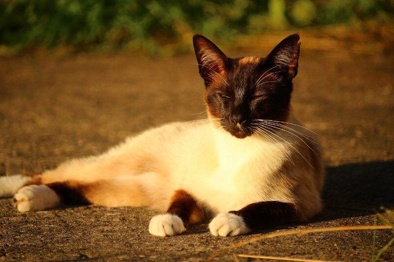 На фото кот сиамской породы
