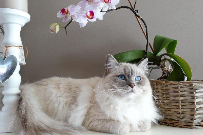 На фото кот породы Рэгдолл