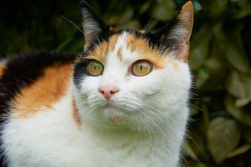 На фото кот породы Европейская короткошерстная