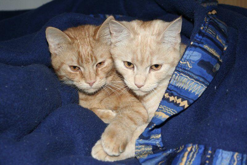 На фото котята европейской короткошерстной кошки