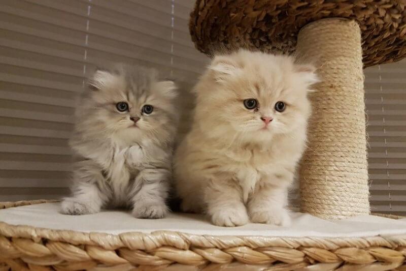 На фото котята породы Персидская шиншилла