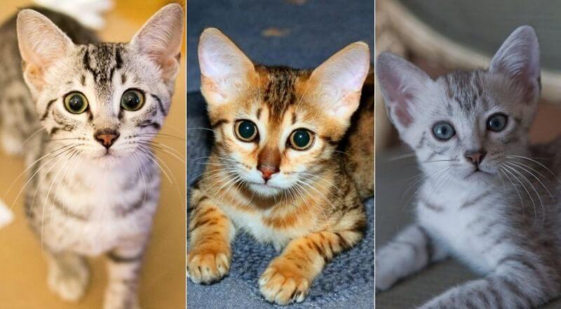 На фото котята породы Египетская мау