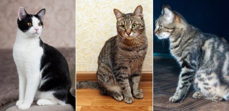 На фото кошка породы Европейская короткошерстная
