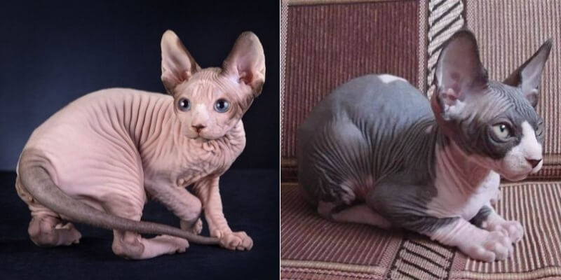 На фото коты породы канадский сфинкс