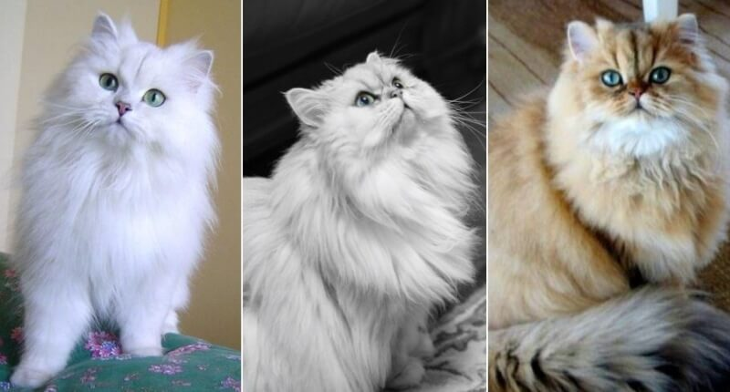 На фото кошка породы Персидская шиншилла