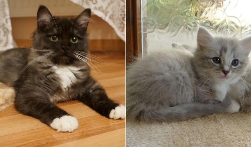 На фото котята породы Рагамаффин