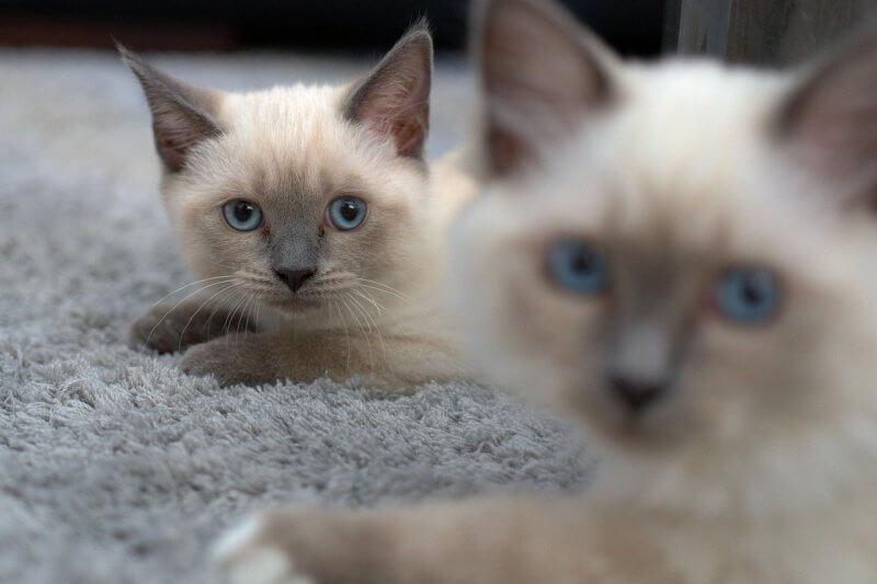 На фото котята сиамской породы