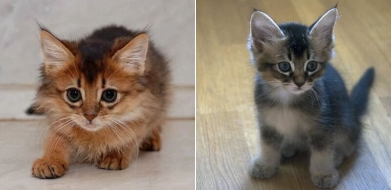 На фото котята породы кошек Сомали