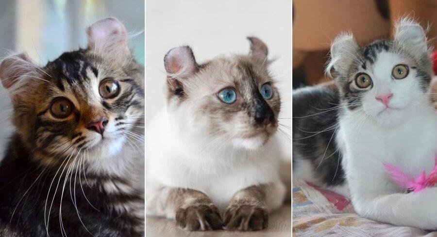 На фото популярные окрасы кошек породы Американский кёрл