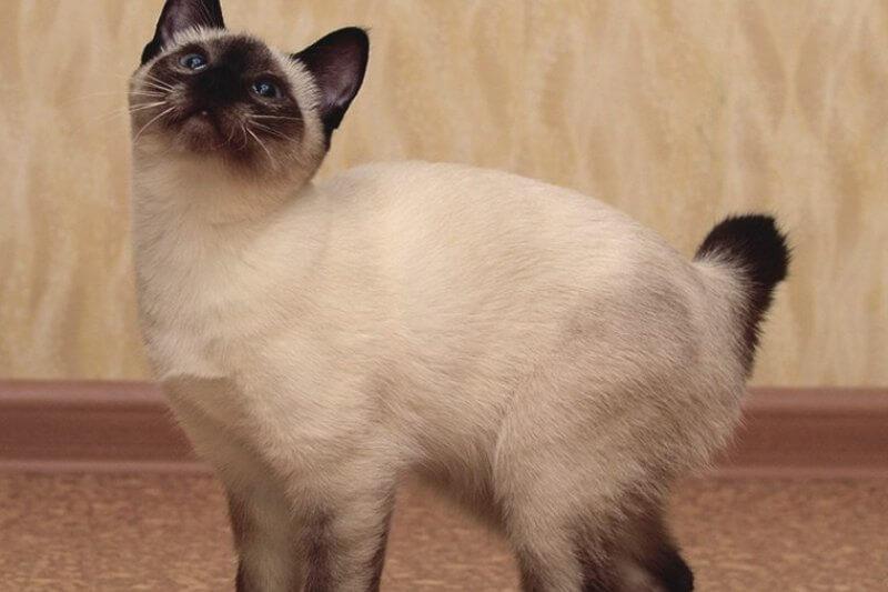 На фото кот породы Скиф тай дон
