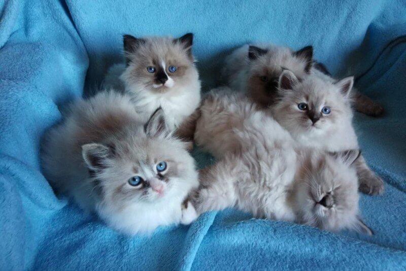На фото котята породы Невская маскарадная