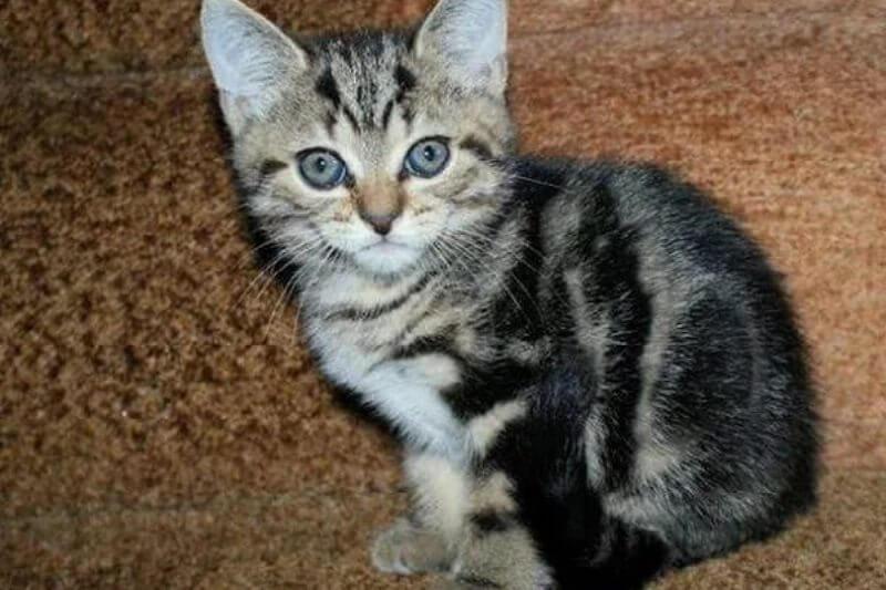 На фото котёнок породы Бразильская короткошерстная