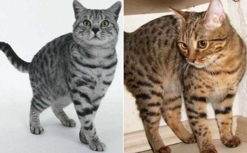 На фото Калифорнийская сияющая кошка популярных окрасов