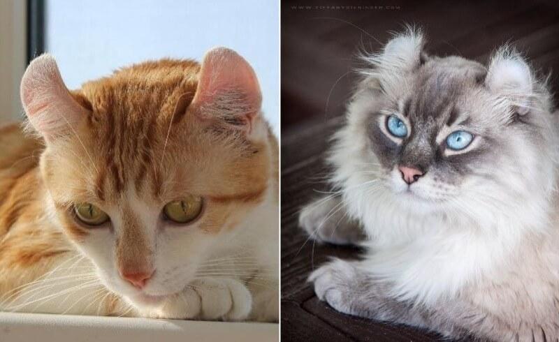 На фото кошка породы Американский кёрл: короткошёрстная и долинношёрстная