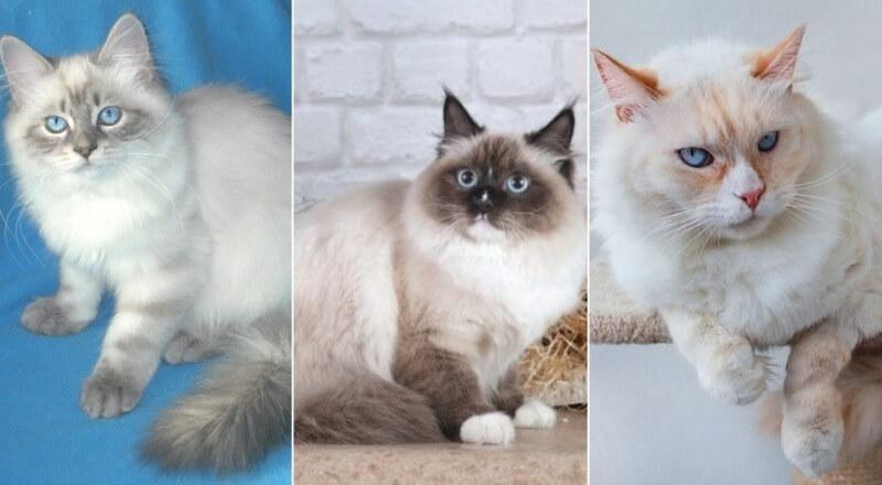На фото Невская маскарадная кошка популярных окрасов