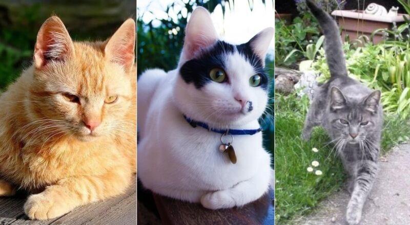 На фото Бразильская короткошерстная кошка, популярных окрасов