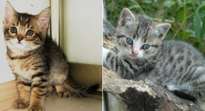 На фото котята калифорнийской сияющей