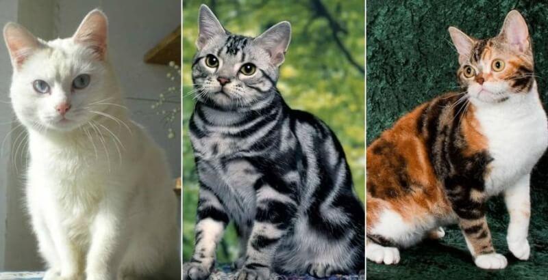 На фото американская короткошёрстная кошка