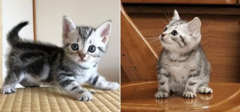 На фото американские короткошёрстные котята