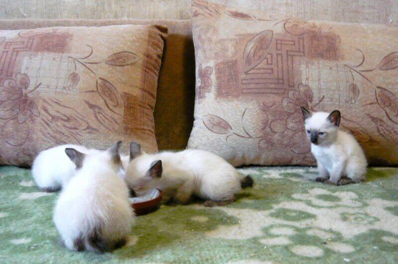 На фото котята породы Скиф тай дон