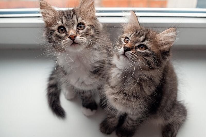 На фото котята сибирсокй породы