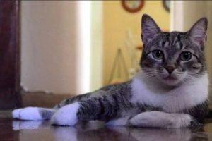 Породы кошек в бразилии