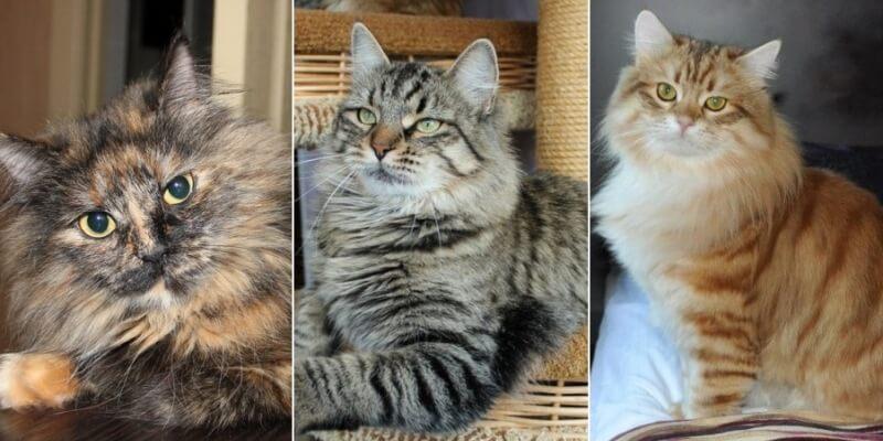 На фото кошки сибирской породы