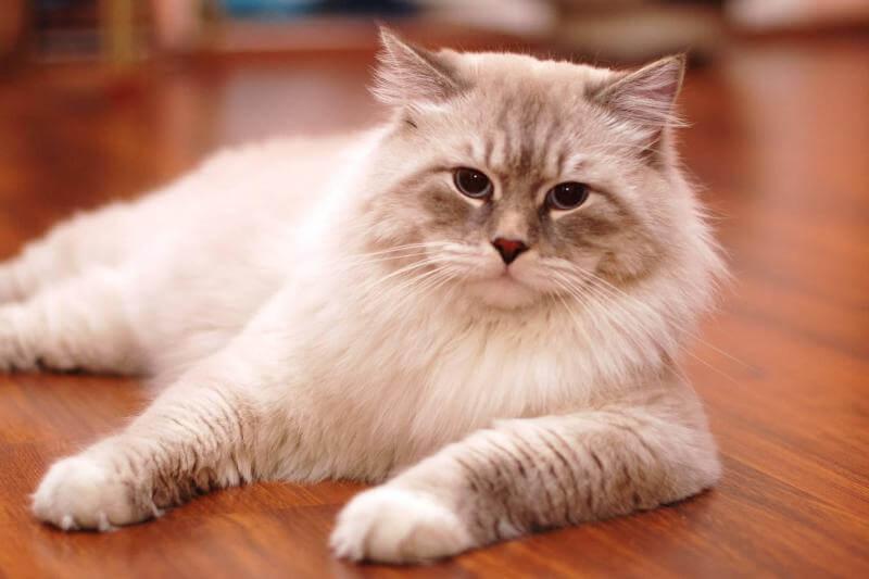 На фото кот породы Невская маскарадная
