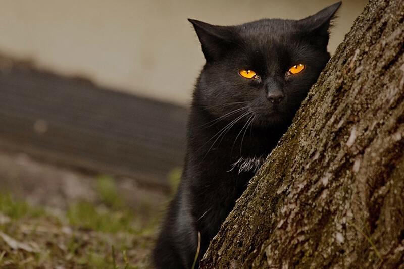 На фото бомбейский кот