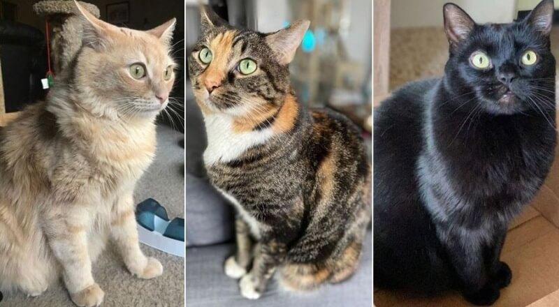 На фото кошки породы Американский бобтейл популярных окрасов