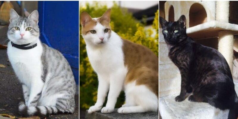На фото кошки породы Аравийский мау популярных окрасов