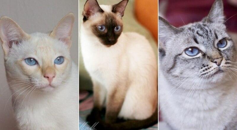 На фото Тайская кошка популярных окрасов