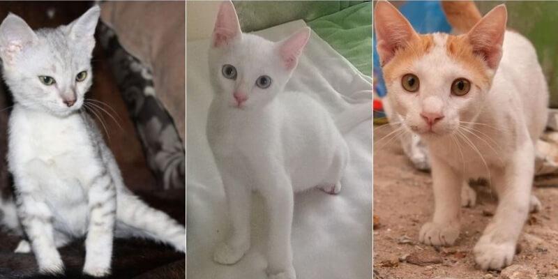 На фото котята породы Аравийский мау