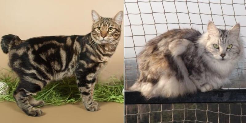 На фото кошки породы Курильский бобтейл