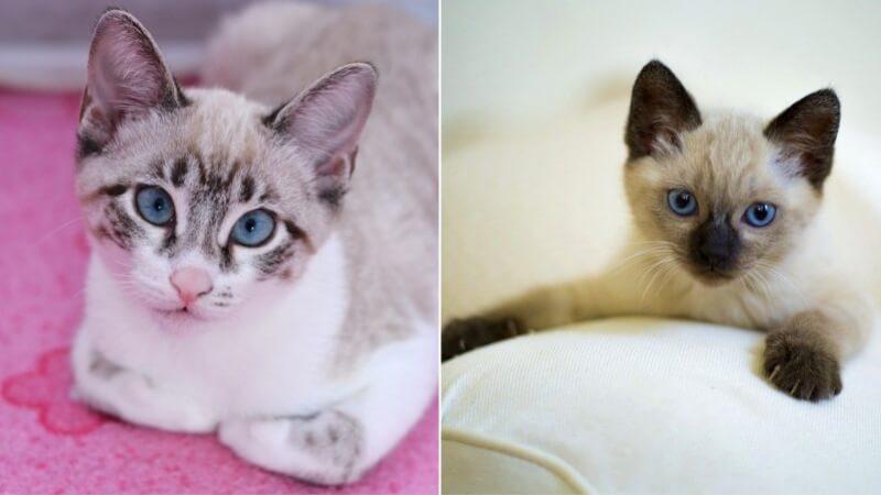 На фото котята тайской породы