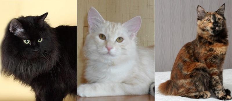 На фото кошки породы Курильский бобтейл популярных окрасов