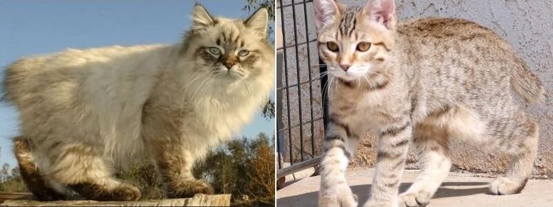 На фото коты породы Американский бобтейл