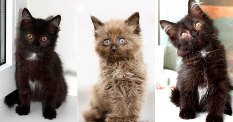 На фото котята породы Шантильи Тиффани