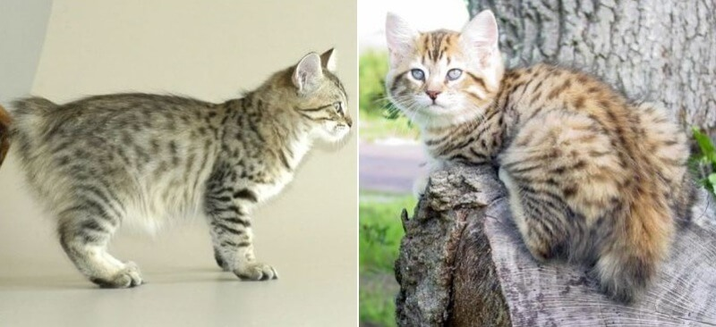 На фото котята породы Американский бобтейл