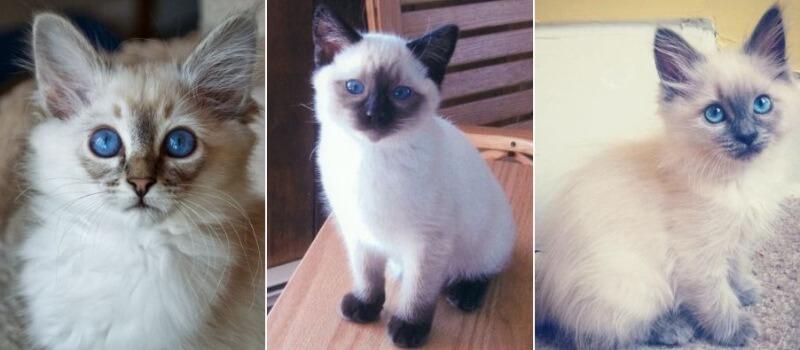 На фото котята Балинезийской породы
