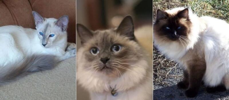 На фото кошки Балинезийской породы, популярных окрасов