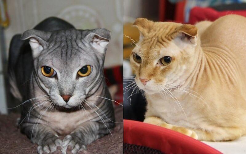 На фото кошки породы Украинский левкой