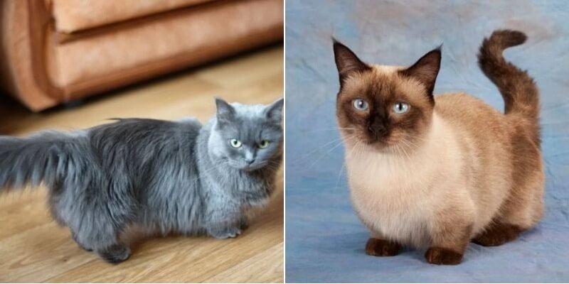 На фото кошки породы Манчкин