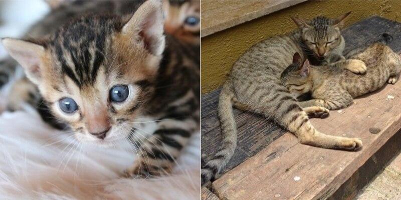 На фото котята Бенгальской породы