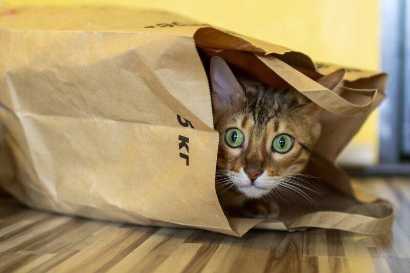 На фото Бенгальский кот на охоте